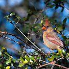 Kardinal bei HBSP von TJ Baccari Photography