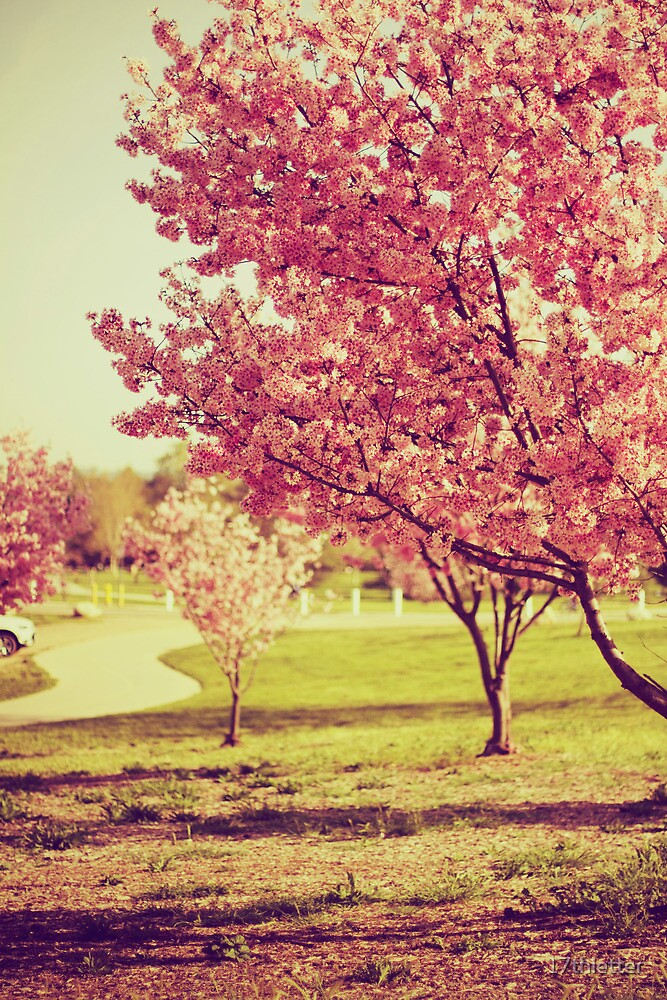 Soft Sakuras by 17thletter