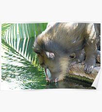Mandrill (Mandrillus sphinx), Adelaide Zoo, South Australia Poster