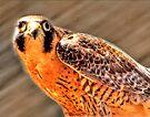 Falcon by LudaNayvelt