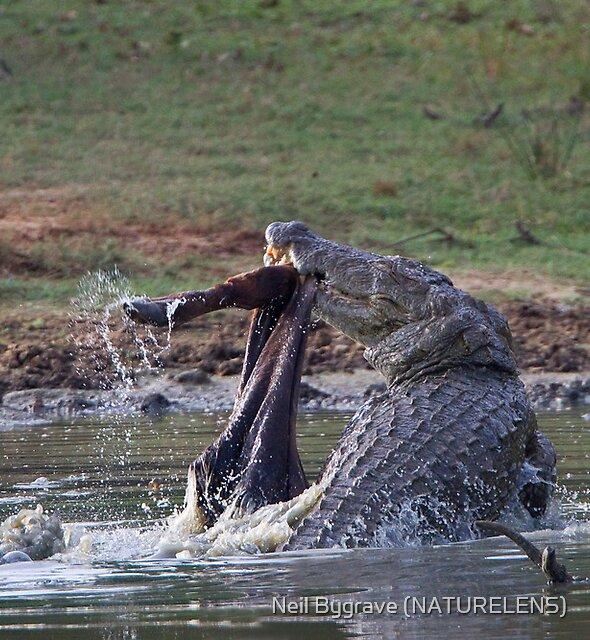 Feeding Marsh Croccodile by Neil Bygrave (NATURELENS)