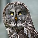 Great Grey Owl (Strix nebulosa) by Steve  Liptrot