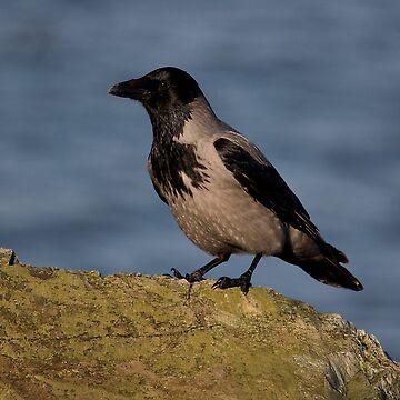 hooded crow by jon77lees