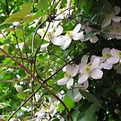 Sunlit Clematis by BlueMoonRose