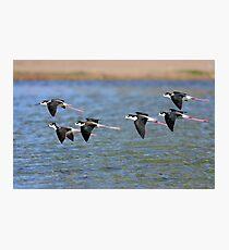 Black-necked Stilts Photographic Print