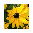 Big yellow daisy with Bee by hartpix