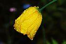 Yellow Iceland Poppy by Tori Snow