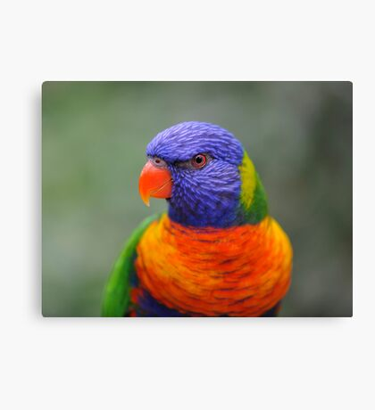 Bright Eyes - rainbow lorikeet Canvas Print