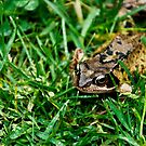 Frog by bryanbellars