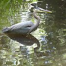 Wading heron by pixiealice