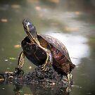 Schildkröte Balancing von TJ Baccari Photography