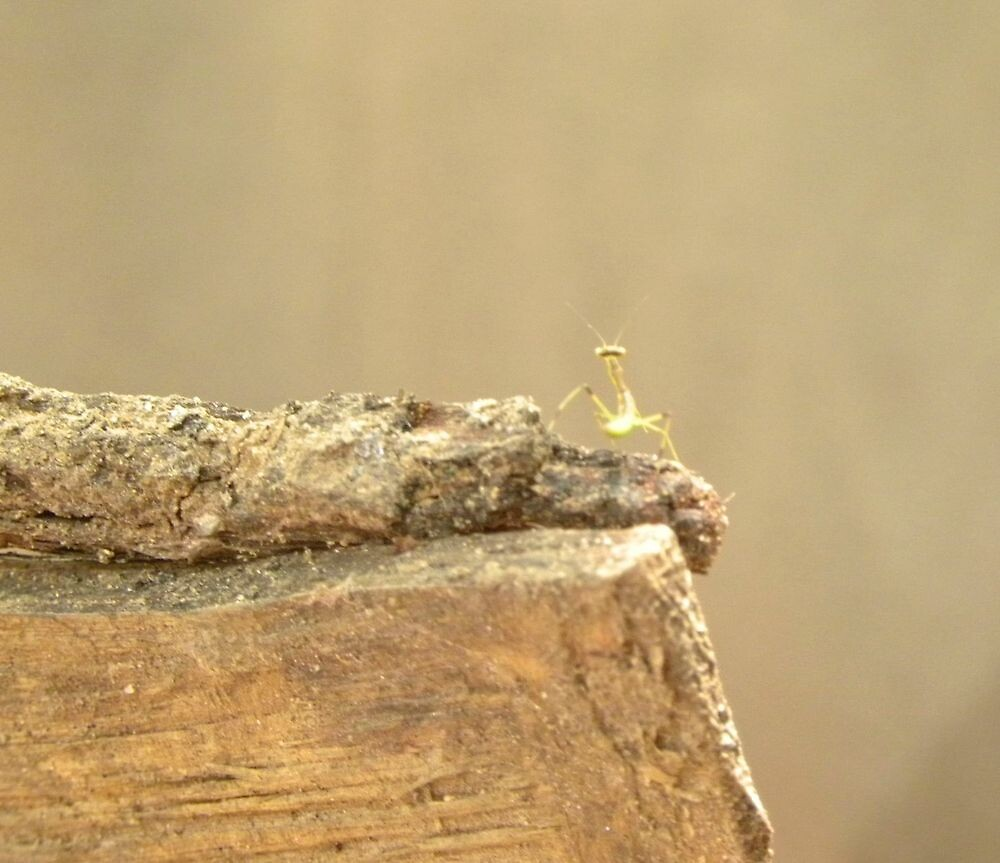 Tiny Tiny Praying Mantis #1 by Ann Reece