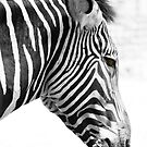 Zebra headshot by Melissa  Carroll