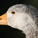 Greylag by larry flewers
