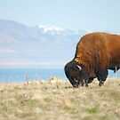 Bison of Antelope Island, Ut by cshphotos