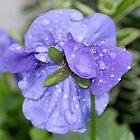 Viola After the Rain by AnnDixon