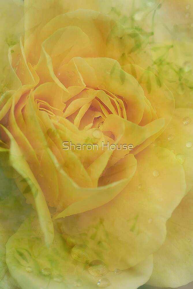 The Rose Still Grows.... by Sharon House
