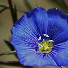Blue Flax by Arla M. Ruggles