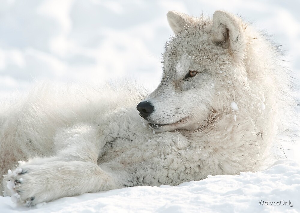 Quot Arctic Wolf Pup Quot By Wolvesonly Redbubble