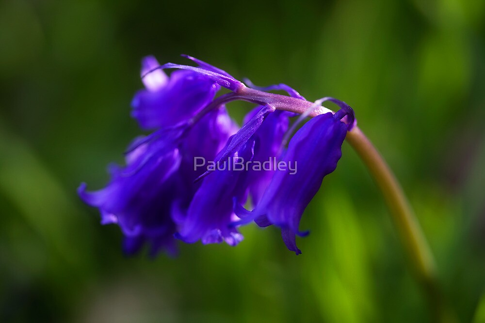 Bluebells by PaulBradley