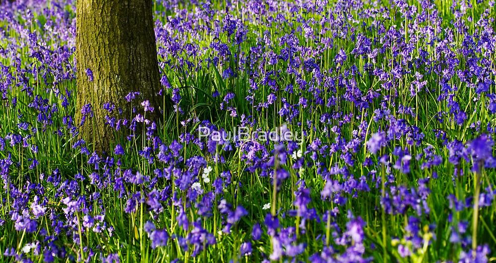 Bluebell meadow by PaulBradley