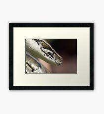 Boa Constrictor Framed Print