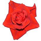 rote Rose von roggcar