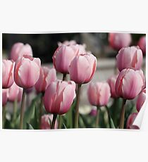 Pink Tulips with Curved Stems Poster