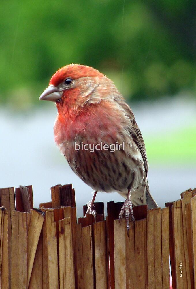 Portrait of a Finch by bicyclegirl