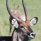 Waterbuck by CriscoPhotos