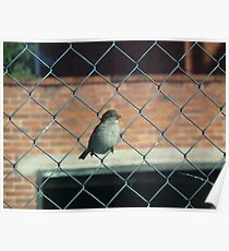 Bird on a wire fence Poster