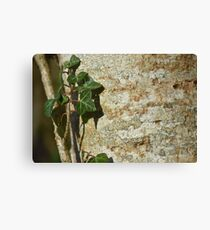 Ivy in the Sun Canvas Print