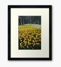 Daffodils at Lancaster Gate Hyde Park Framed Print