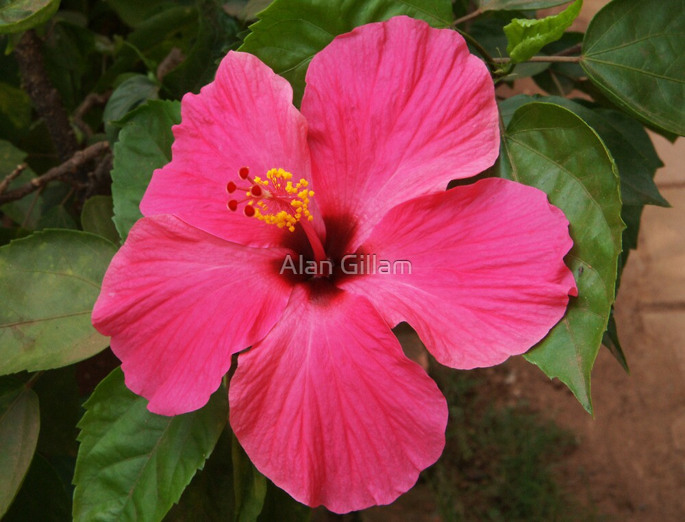 Hibiscus  by Alan Gillam