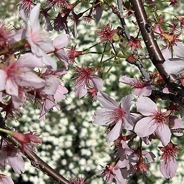 Spring - Cherry Garden by agnessa38
