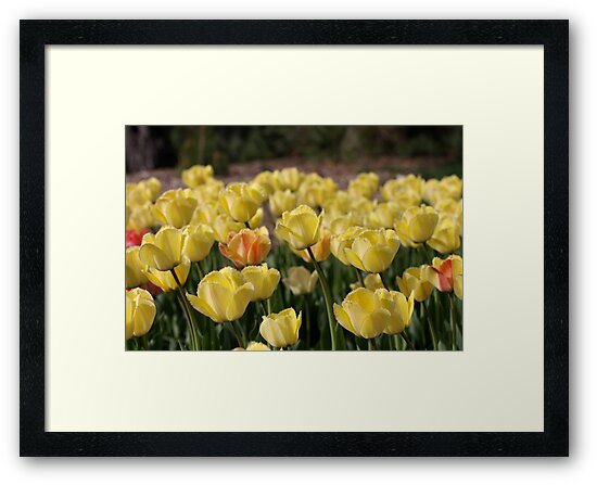 Yellow Tulips Bending In a Spring Breeze by cjbenck