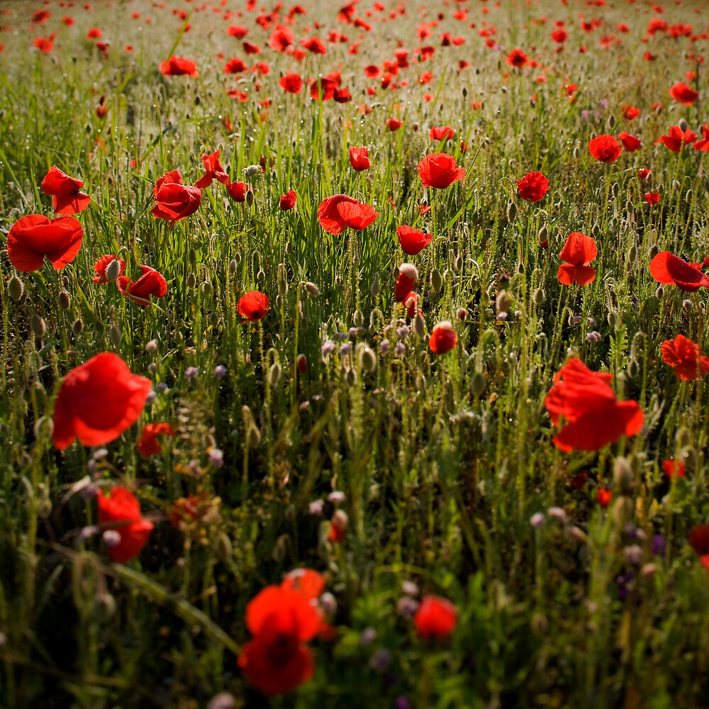 Poppy dream by Tomas Kaspar