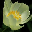 Peonie Yellow by Deborah  Benoit