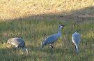 Sandhill Cranes by ValeriesGallery
