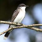 Eastern Kingbird w/flash. by Erik Anderson