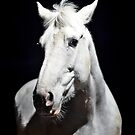 Grey Irish Draught Mare Photography by Nick Lewis