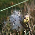 Milkweed on the Fence by teresa731