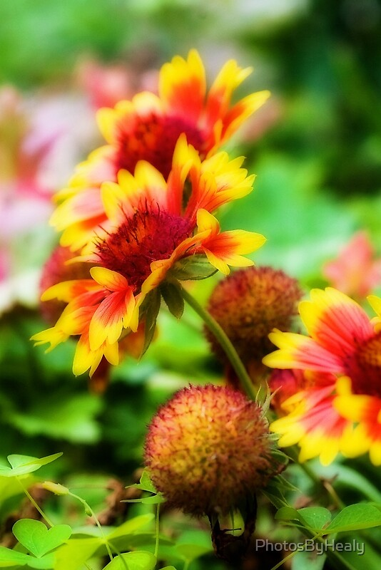 Gaillardia - Orton-ized by Photos by Healy
