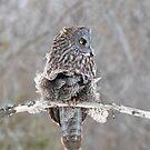 Great grey owl in windstorm by Jim Cumming