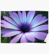 Violet/ White African Daisy Poster
