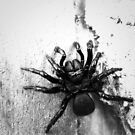 Mouse Spider by LouJay