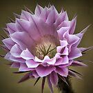 A Big Cactus Flower by George Kypreos