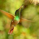 Berylline Hummingbird in Flight by K D Graves Photography