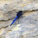 Blue dragonfly in her transparent dress! by Elizabeth Kendall