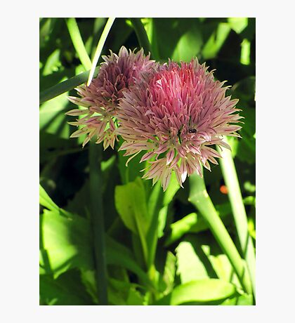 Wild Chives Photographic Print